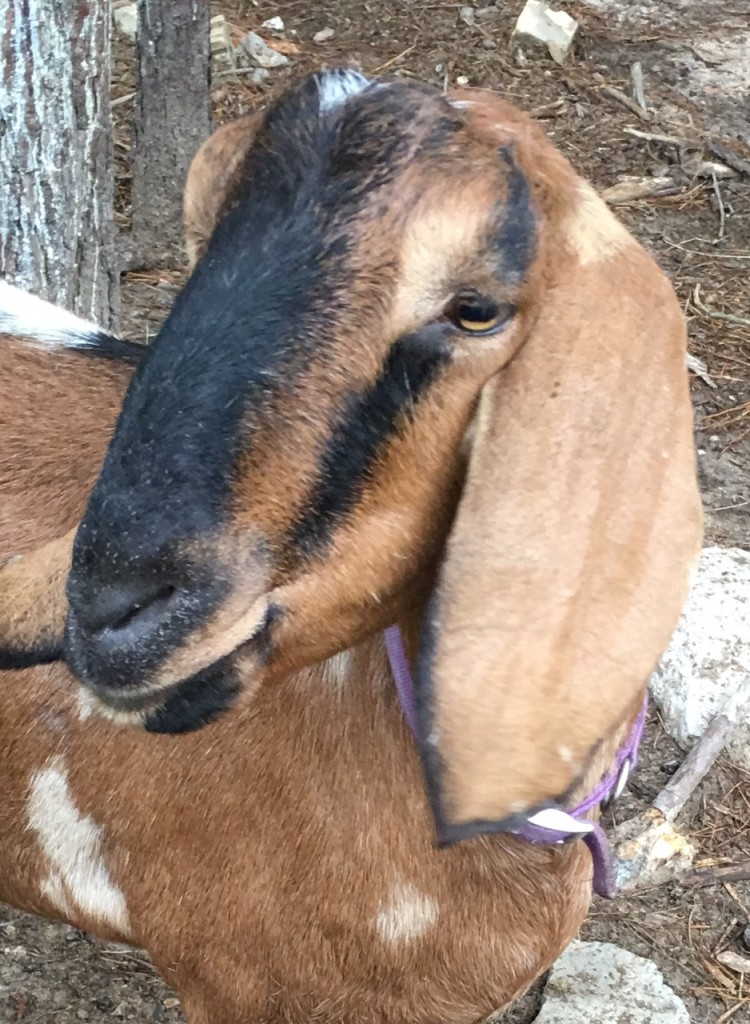 Picture of Nubian goat.